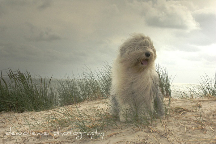 бобтейл фото собак 9 (700x466, 113Kb)
