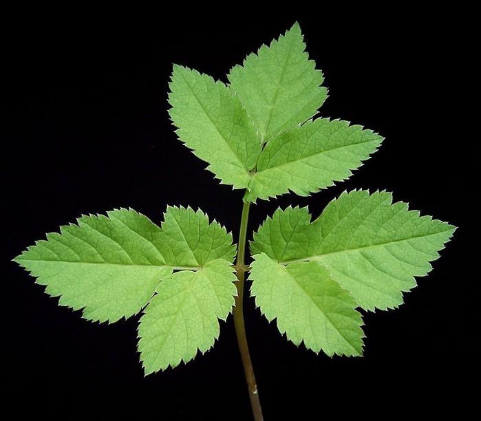 Молодые листья сныти/4316166_snit_listya (700x612, 73Kb)