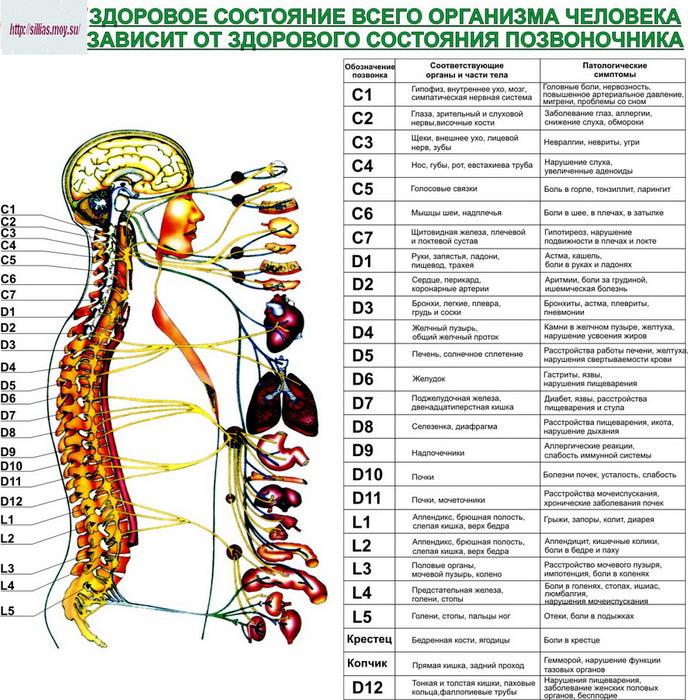 Позвоночник и органы (688x700, 194Kb)