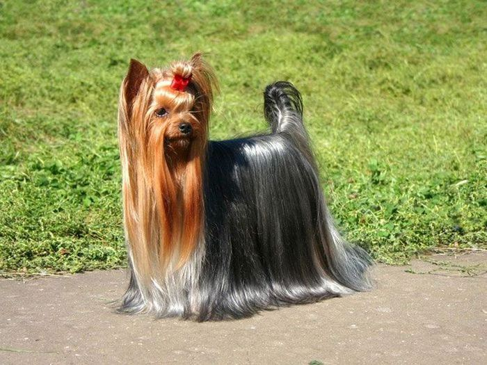 1348083130_yorkshire-terrier_11 (700x525, 87Kb)