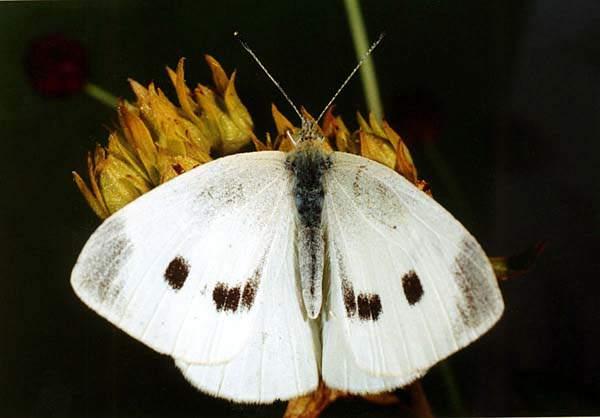 приманка для бабочек капустниц