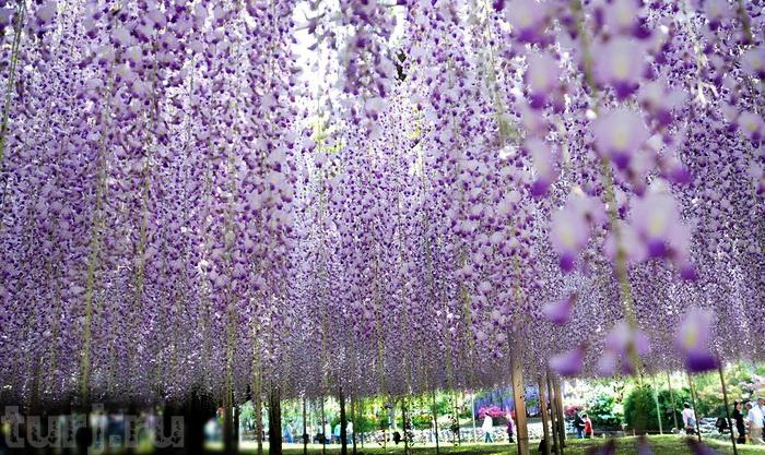 Асигака в начале мая цветет, на японском её название звучат как Fuji - фото 3