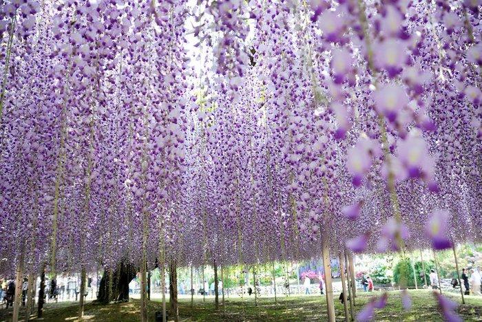 Асигака в начале мая цветет, на японском её название звучат как Fuji - фото 4
