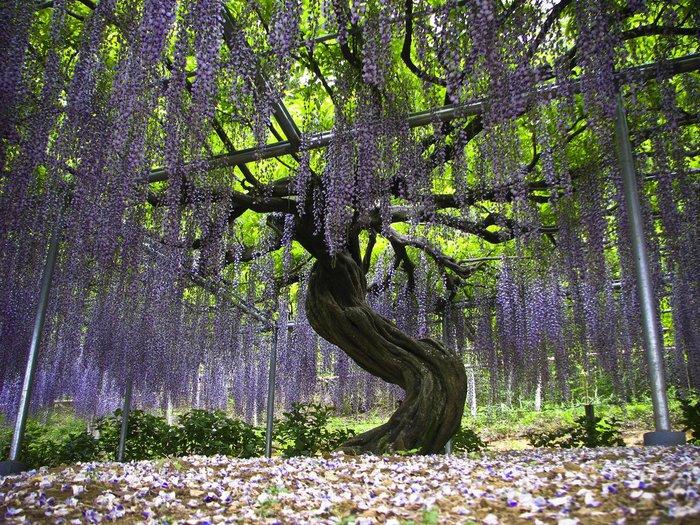 Асигака в начале мая цветет, на японском её название звучат как Fuji - фото 5