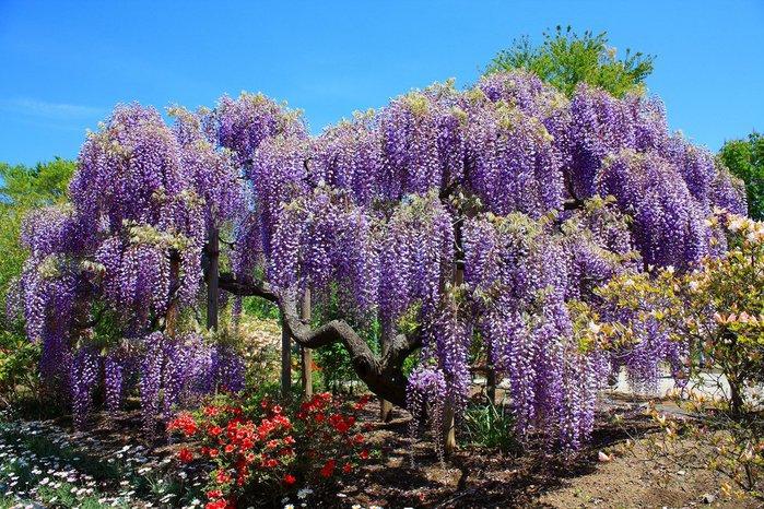 Асигака в начале мая цветет, на японском её название звучат как Fuji - фото 6
