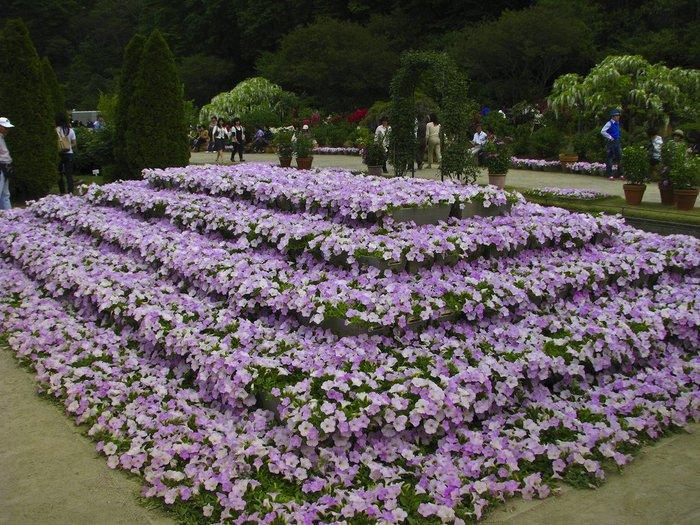 Асигака в начале мая цветет, на японском её название звучат как Fuji - фото 8