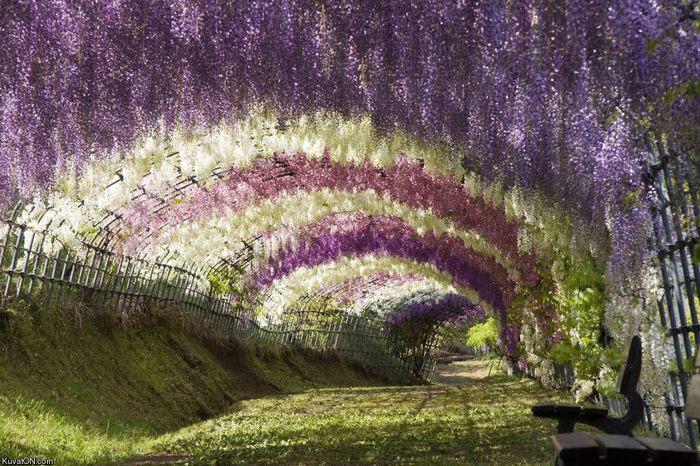 Асигака в начале мая цветет, на японском её название звучат как Fuji - фото 9