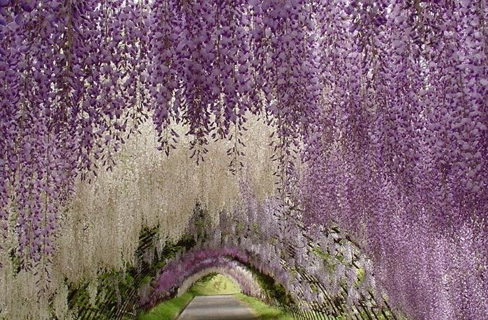 Асигака в начале мая цветет, на японском её название звучат как Fuji - фото 11