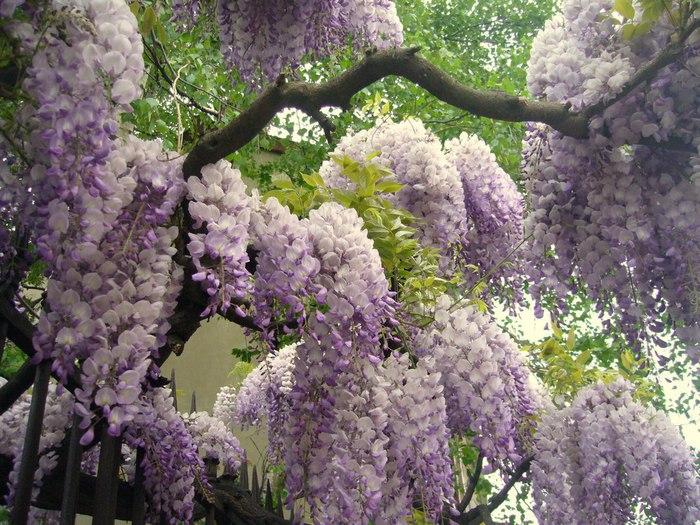 Асигака в начале мая цветет, на японском её название звучат как Fuji - фото 13