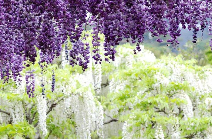 Асигака в начале мая цветет, на японском её название звучат как Fuji - фото 15