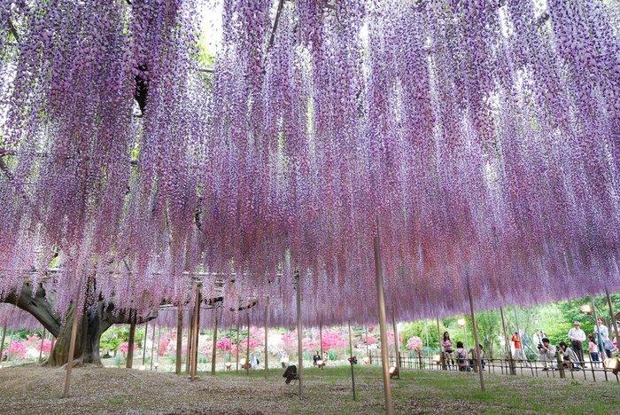 Асигака в начале мая цветет, на японском её название звучат как Fuji - фото 16