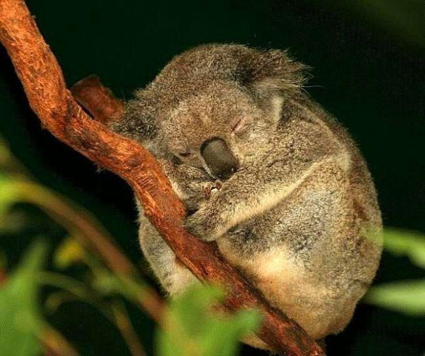 96438152_koala.jpg