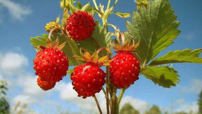 strawberry-wallpaper-1366x768 (700x393, 110Kb)