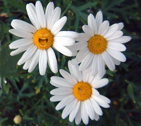 daisies (580x518, 57Kb)