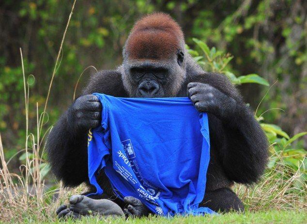 gorilla_t_shirt_01 (634x463, 60Kb)
