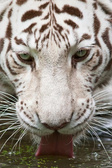 белый тигр фото (466x700, 408Kb)