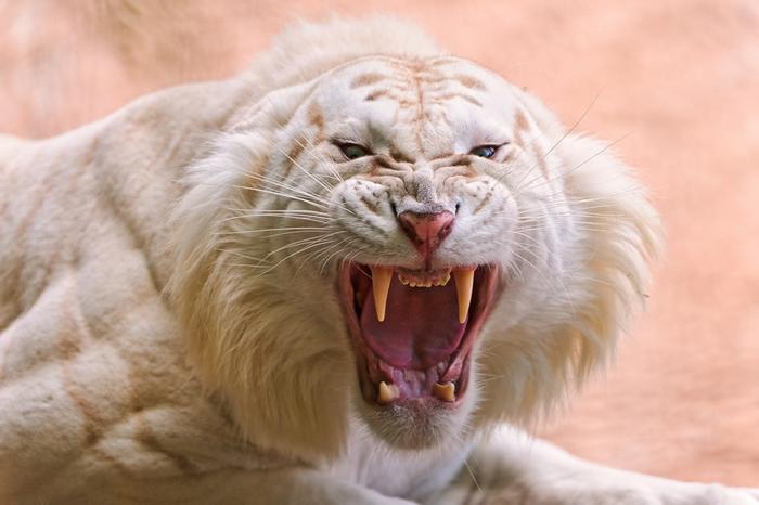 белый тигр фото 4 (700x466, 203Kb)