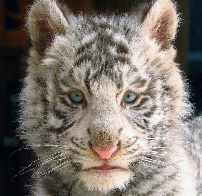белый тигр фото 8 (700x679, 462Kb)