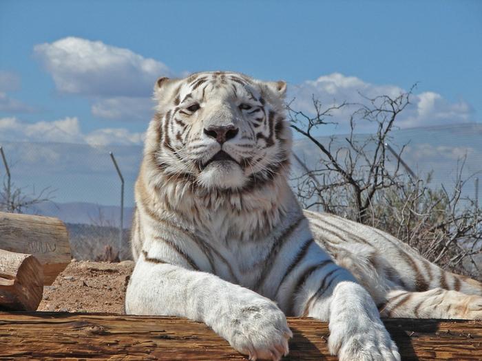 белый тигр фото 10 (700x525, 297Kb)