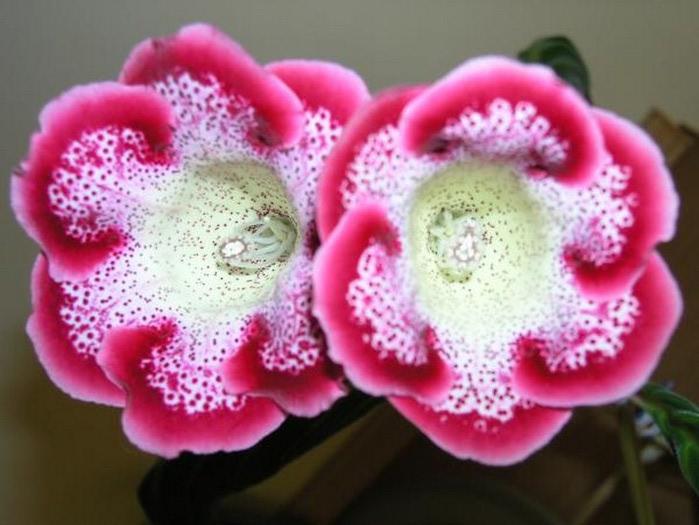 Глоксиния синнингия гибридная пришла к нам из Бразилии.  В Европу это красивое растение с такими роскошными...