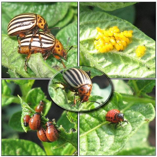 от колорадского жука можно