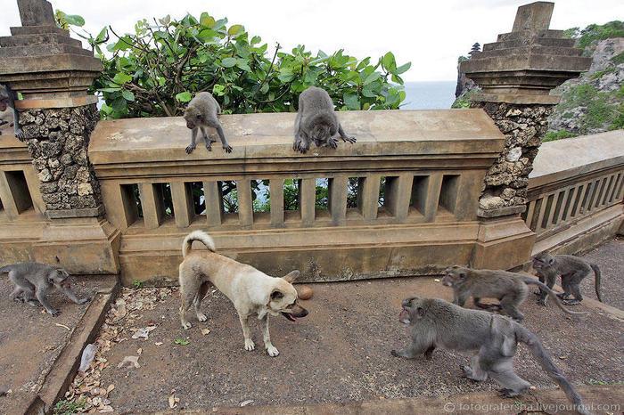 23. Собака, кстати, на мартышек внимания почти не обращала, иногда огрызалась в ответ. Развязки не случилось, обезьяны разбежались, собака поскакала дальше (700x466, 105Kb)