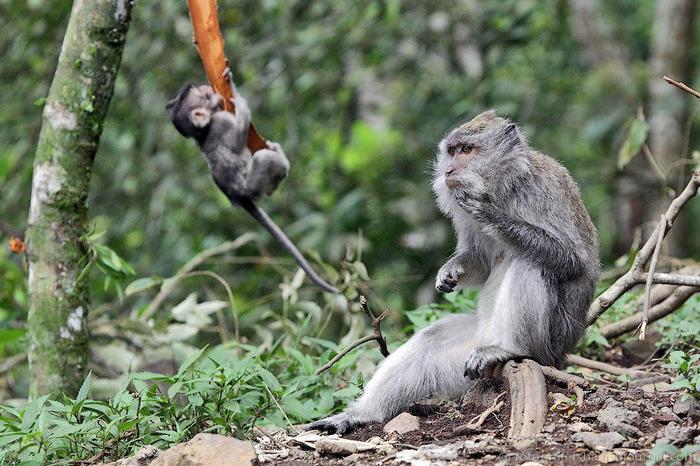 32. Последняя фотография. Дитё на выгуле. Здесь уже лесные мартышки в районе озера Баян (700x466, 87Kb)