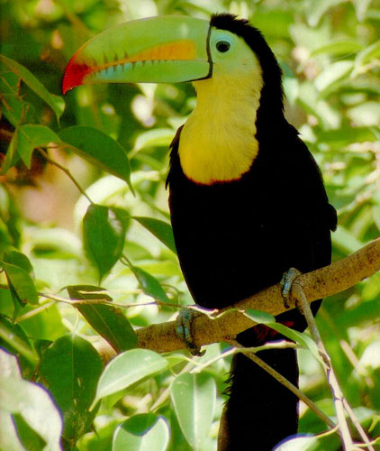 toucan (422x500, 54Kb)