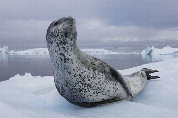 leopard seal penguin 1 (600x399, 28Kb)