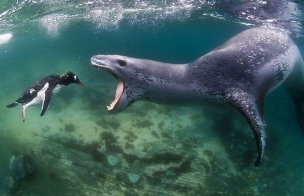 leopard seal penguin 5 (600x387, 36Kb)