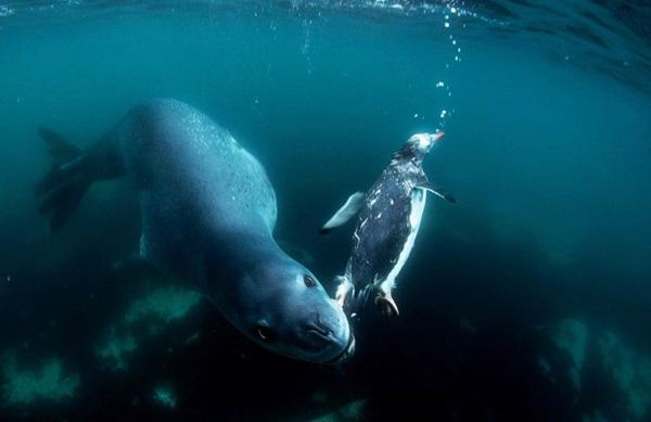 leopard seal penguin 7 (600x389, 20Kb)
