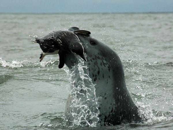leopard seal penguin 9 (600x450, 51Kb)