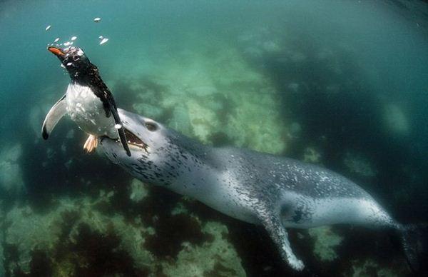 leopard seal penguin 11 (600x388, 29Kb)