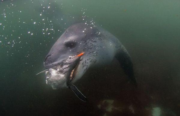 leopard seal penguin 13 (600x389, 21Kb)