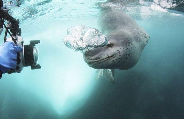 leopard seal penguin 17 (600x387, 29Kb)