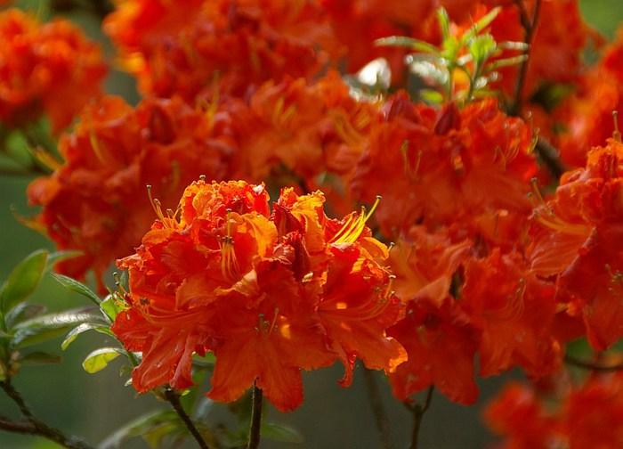 Рододендроновый парк-Westerstede Rhododendronpark. 69846
