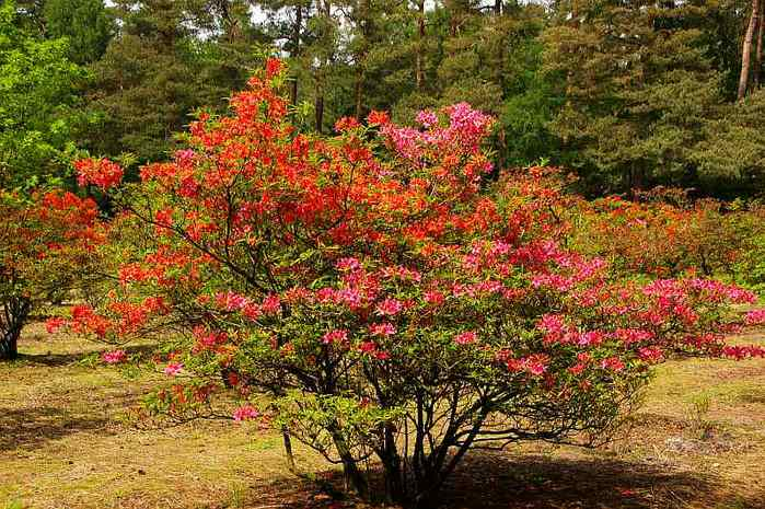Рододендроновый парк-Westerstede Rhododendronpark. 26052