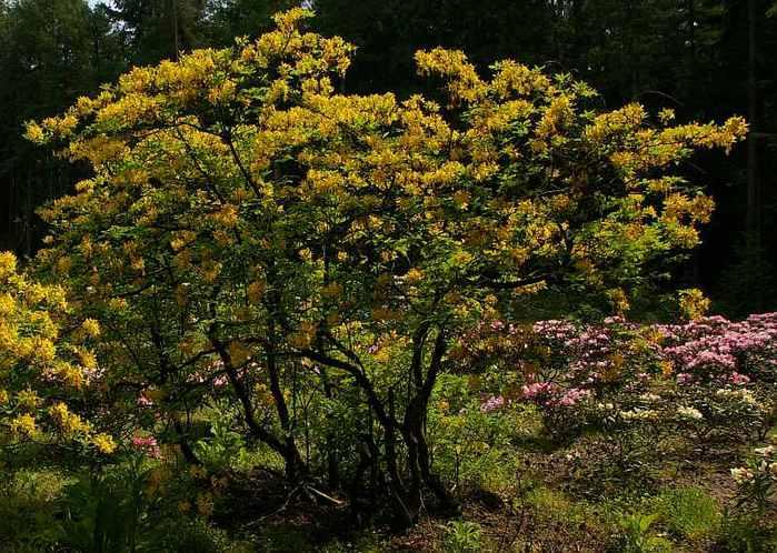 Рододендроновый парк-Westerstede Rhododendronpark. 97234
