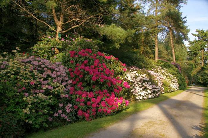 Рододендроновый парк-Westerstede Rhododendronpark. 45597