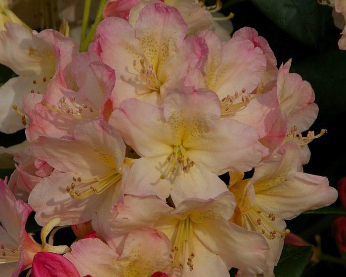 Рододендроновый парк-Westerstede Rhododendronpark. 35050
