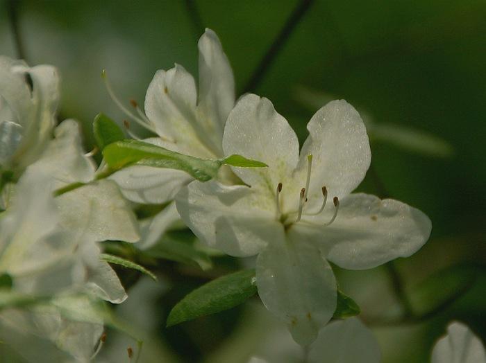 Рододендроновый парк-Westerstede Rhododendronpark. 76756