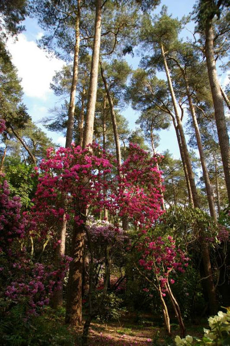 Рододендроновый парк-Westerstede Rhododendronpark. 32262