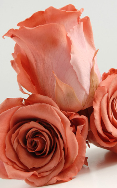 16-Rosa-butonnaa (374x600, 99Kb)