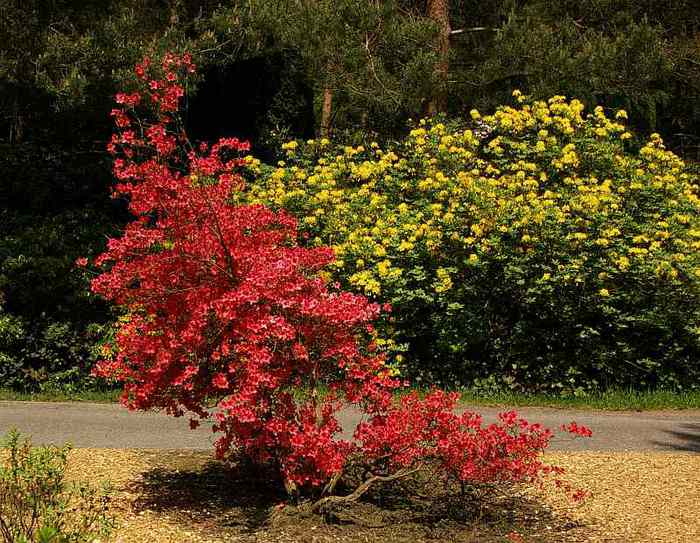 Рододендроновый парк-Westerstede Rhododendronpark. 96203