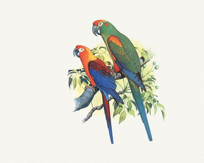 обои для рабочего стола 1280x1024 рисованные, животные, птицы, попугаи.