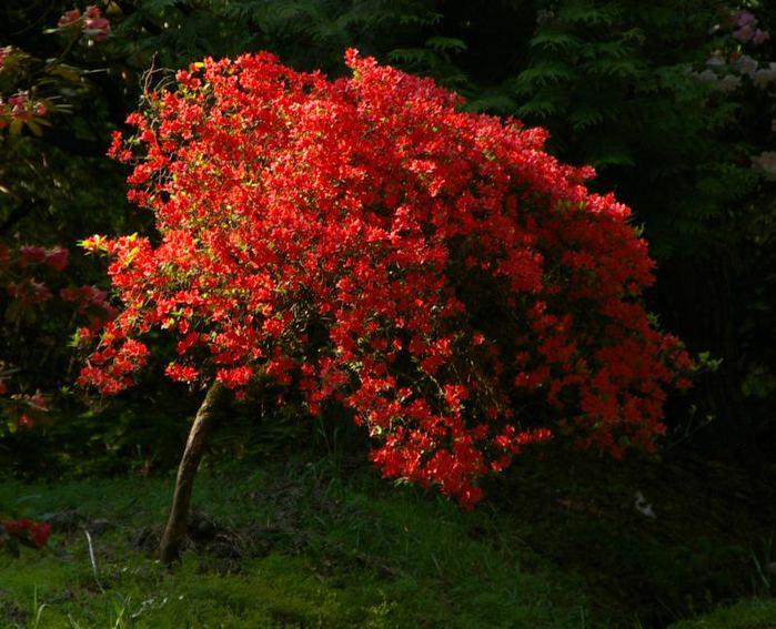Рододендроновый парк-Westerstede Rhododendronpark. 89423