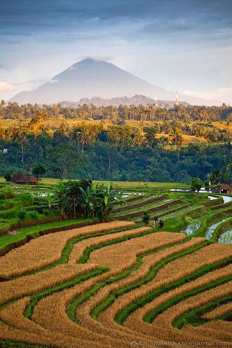 рисовые поля фото 10 (466x700, 137Kb)