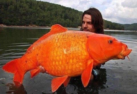 В озере на юге Франции был пойман один из самых крупных карпов в мире. Гигантская рыба весом 15 килограмм с оранжевой чешуей напоминает золотую рыбку из сказки (480x328, 48Kb)