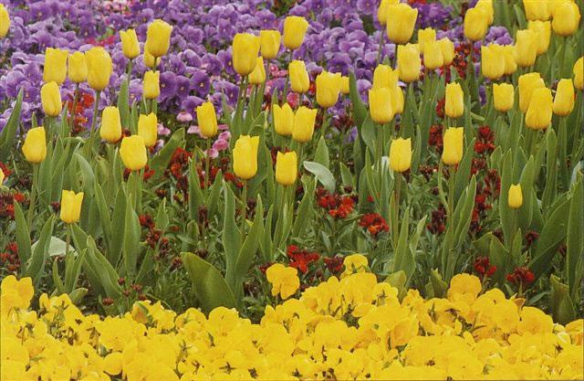 Тюльпаны гиоцинты злаковые и виола