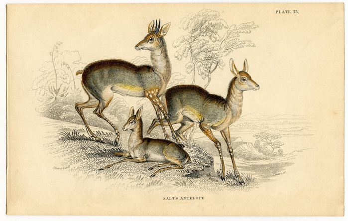 antelope-graphicsfairy002sm (700x444, 240Kb)